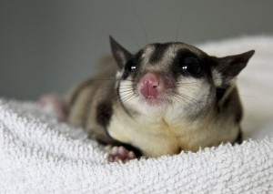 What is a Sugar Glider?