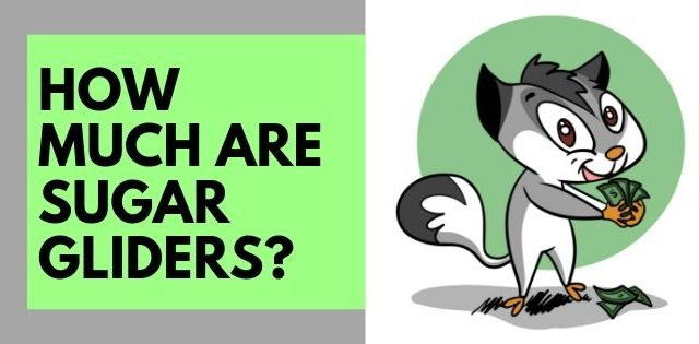 How Much Are Sugar Gliders?