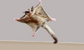 Watch Sugar Gliders In Flight
