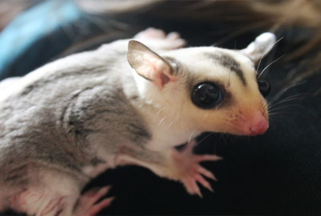 Bonding With Your Sugar Glider