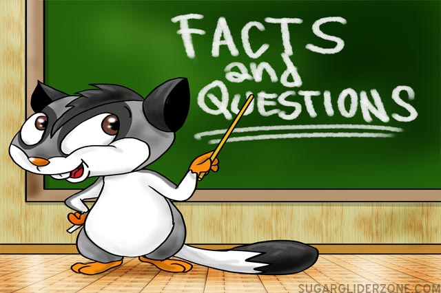 sugar glider facts and questions