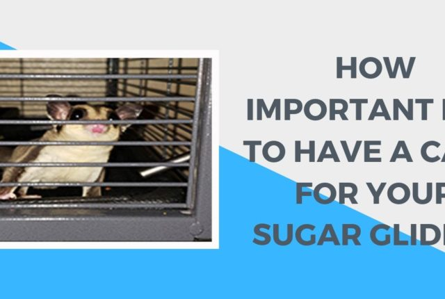 How Important Is It to Have a Cage for Your Sugar Glider