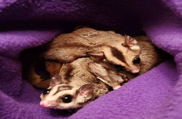 how many sugar gliders could fit in a pouch