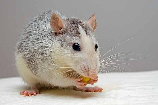 rats are not related to sugar gliders