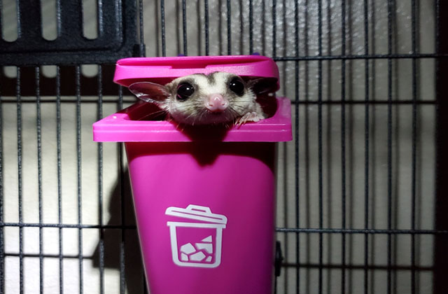 sugar glider sleeping in pouch