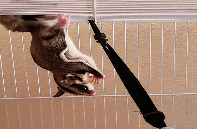 sugar glider eating food upside down