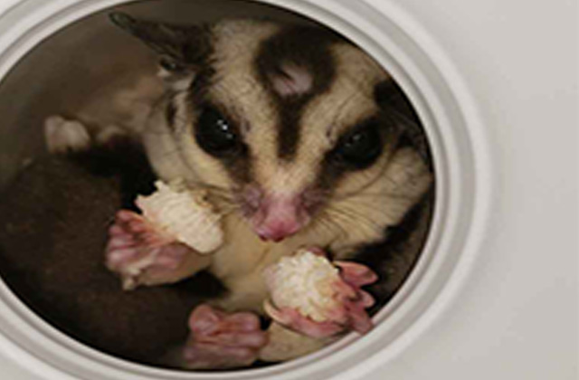 sugar glider eating in hole