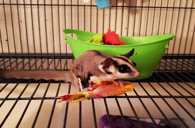 sugar glider eating vegetable in cage
