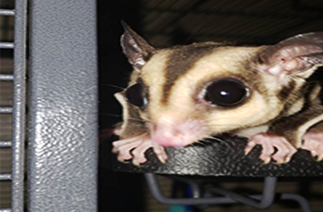 sugar glider face close up