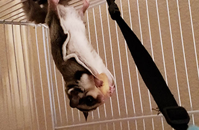 sugar glider hanging from wired cage