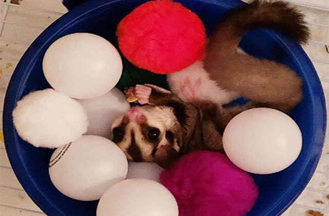 sugar glider playing in ball pit