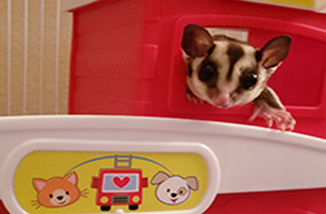 sugar glider playing in play house