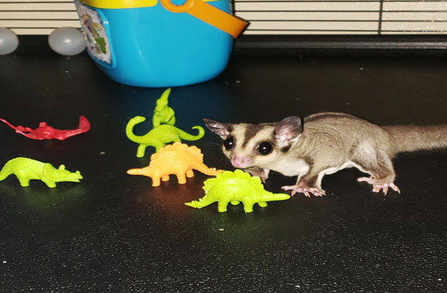 sugar glider playing with toys