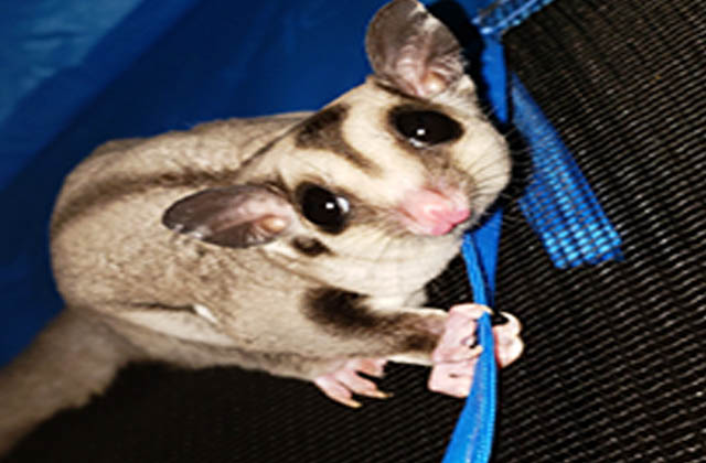 sugar glider responding to you