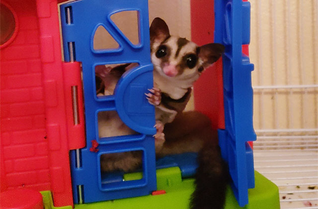 sugar glider toy sets