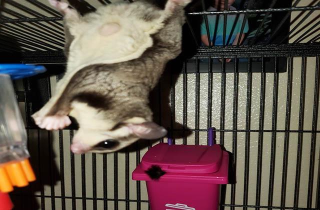 sugar glider upside down in cage