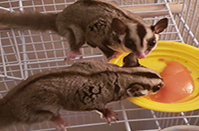 sugar gliders eating meat
