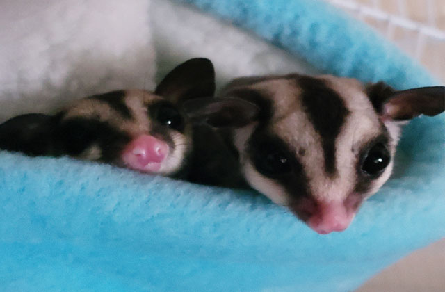 two sugar gliders hiding in pouch