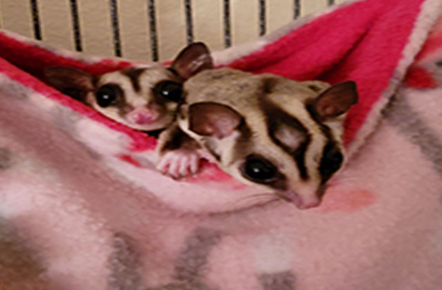 two sugar gliders in pink pouch