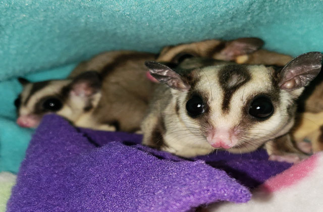 two sugar gliders in small pouch