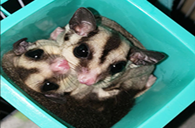 two sugar gliders in tight space