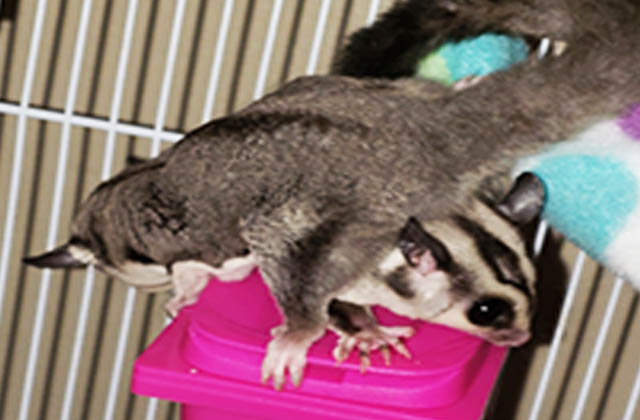 two sugar gliders on top of each other