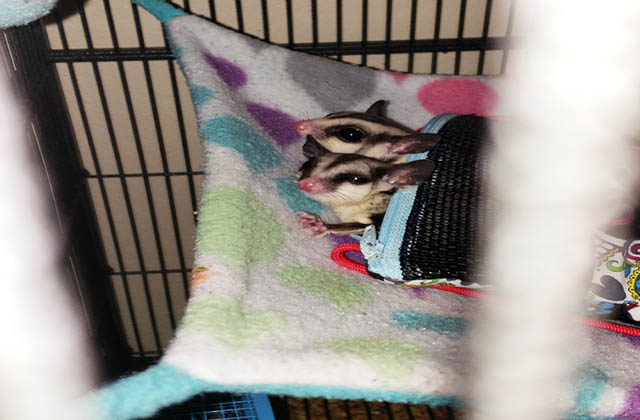 two sugar gliders sleeping in pouch