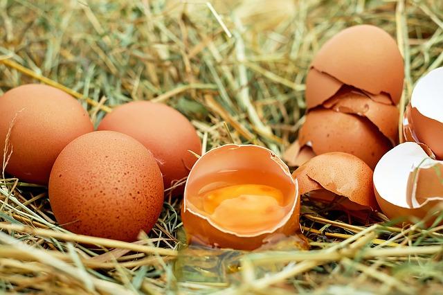 can sugar bears eat eggs