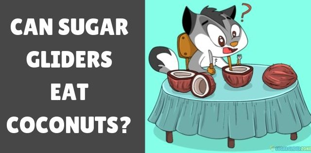 Can Sugar Gliders Eat Coconuts?
