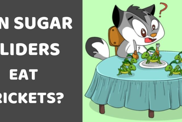 Can Sugar Gliders Eat Crickets?