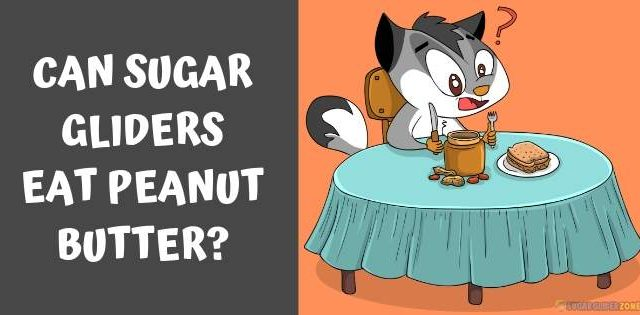 Can Sugar Gliders Eat Peanut Butter?