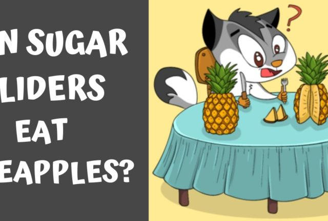 Can Sugar Gliders Eat Pineapple?