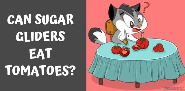 Can Sugar Gliders Eat Tomatoes?