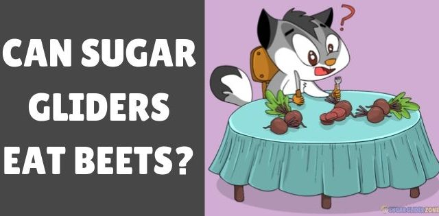 Can Sugar Gliders Eat Beets?