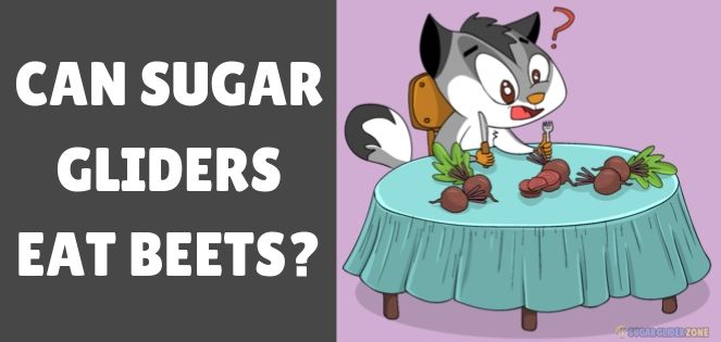 can sugar gliders eat beets